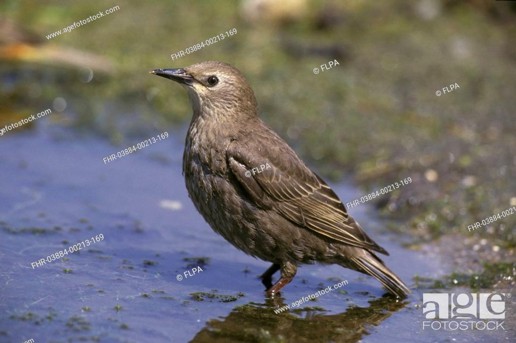 Stock Photo: Starling Sturnus vulgaris Juvenile standing in water / Sussex.