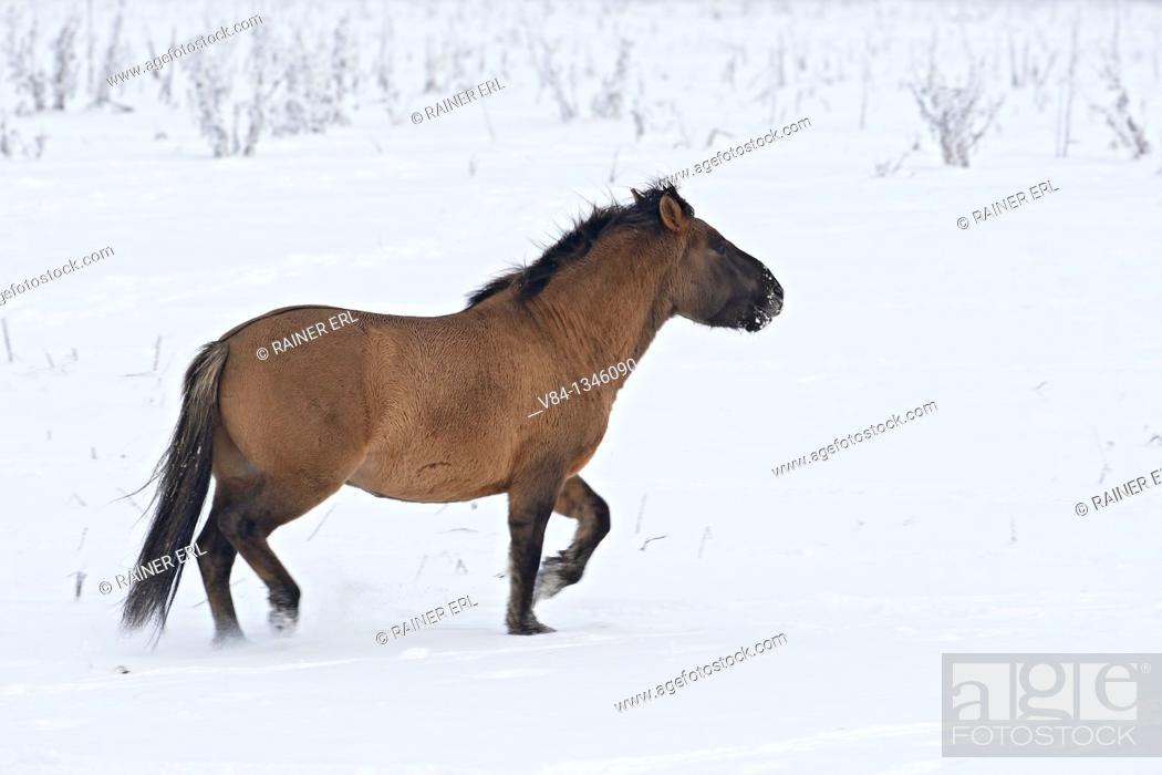 Stock Photo: Konik Horse.