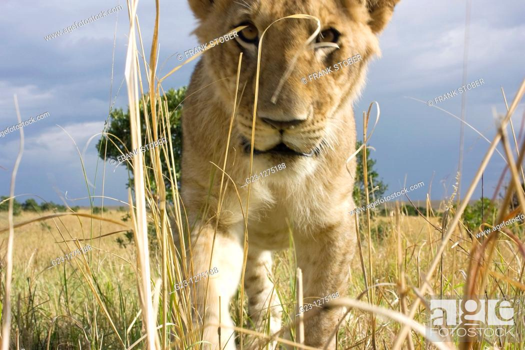 Stock Photo: Inpressions of lions.