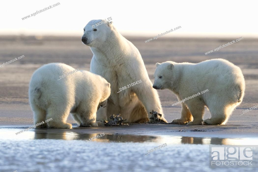 Stock Photo: United States, Alaska, Arctic National Wildlife Refuge, Kaktovik, Polar Bear( Ursus maritimus ), Mother and babies along a barrier island outside Kaktovik.