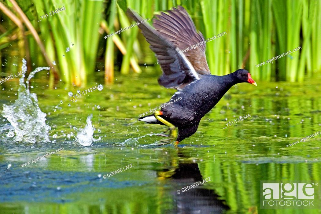 Imagen: Common Moorhen or European Moorhen, gallinula chloropus, Adult Taking off from Pond, Normandy.