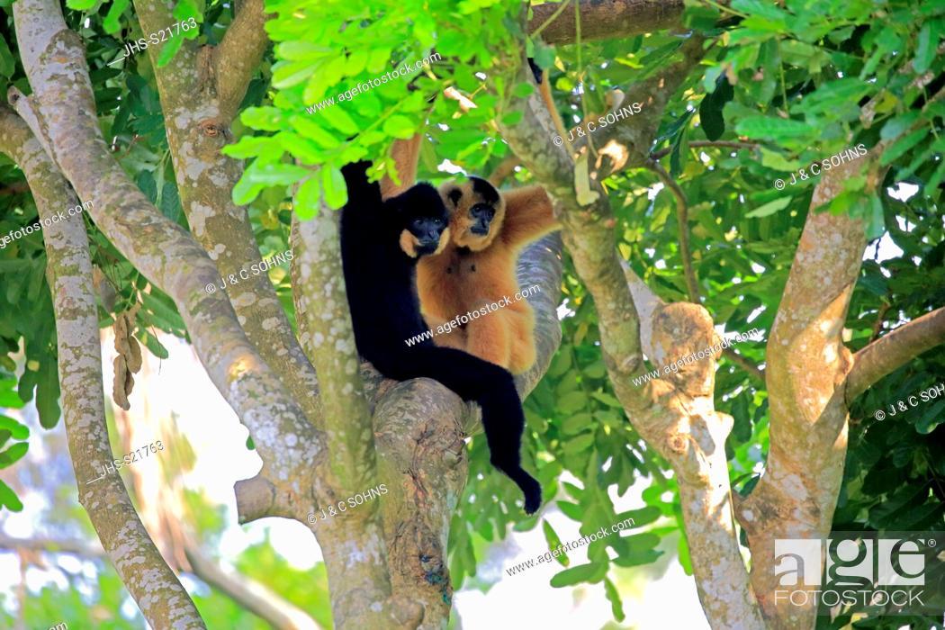 Stock Photo: Yellow Cheeked Gibbon, golden-cheeked gibbon, yellow-cheeked crested gibbon, golden-cheeked crested gibbon, red-cheeked gibbon, (Nomascus gabriellae).
