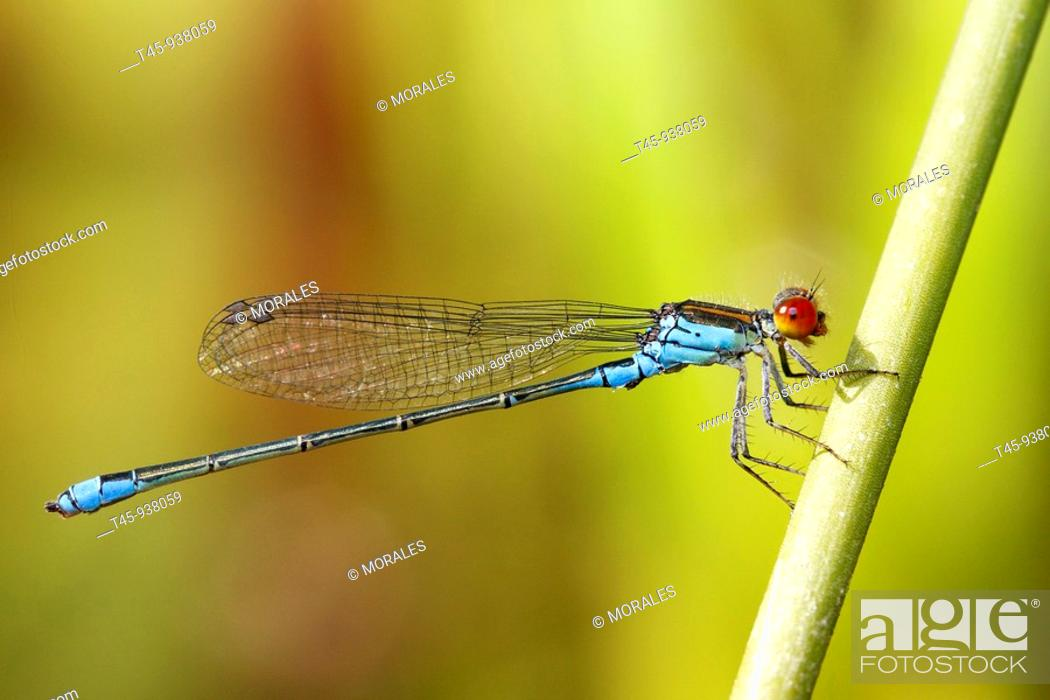 Stock Photo: Red-eyed Damselfy (Erythromma najas).