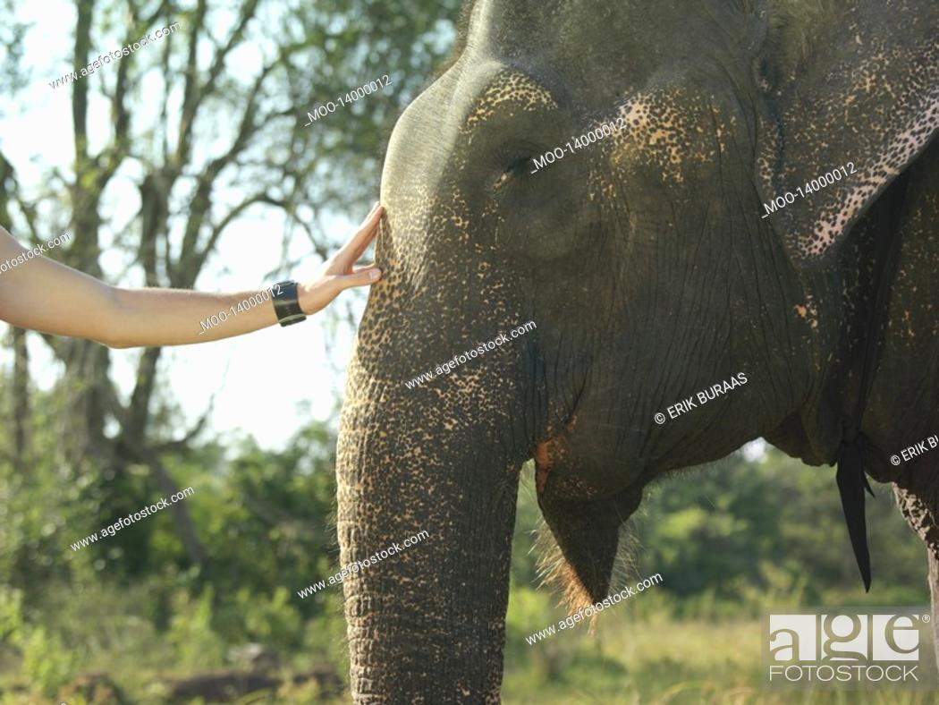 Stock Photo: Young woman stroking elephants head close-up.