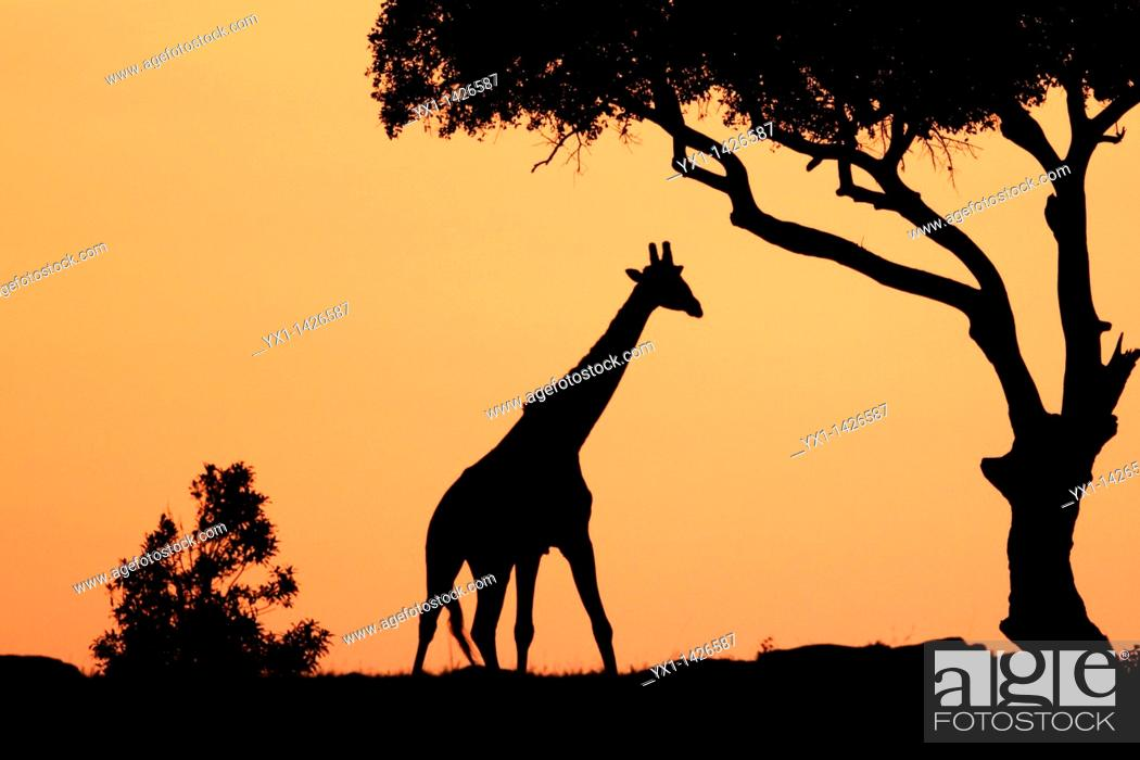 Stock Photo: The tallest animal in the world which browses on tree leaves and twigs  At sunrise the silouhette of the giraffe against the red and orange sky looks very.