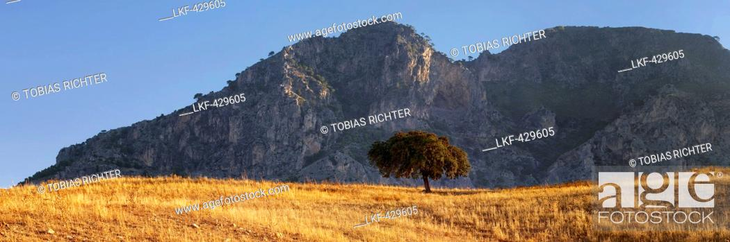 Stock Photo: Hoam oak on yellow field with mountains in the background in the morning light, Andalusia, Spain.
