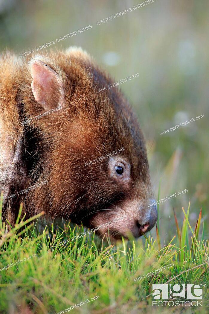 Stock Photo: Common Wombat (Vombatus ursinus hirsutus) adult, close-up of head, feeding, Wilson's Promontory N.P., Victoria, Australia, November.