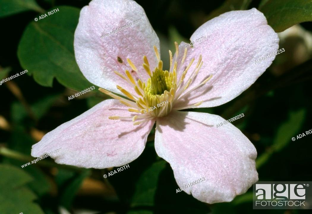 Stock Photo: Clematis montana - pink - tender - lovable - delicate - inviting.