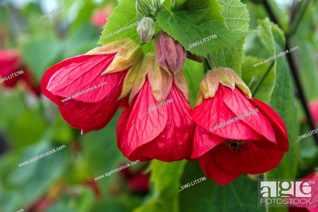 Abutilon Flamenco Stock Photo Picture And Rights Managed Image