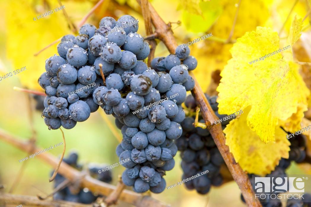 Stock Photo: vineyard Jecmeniste, Eko Hnizdo, Czech Republic.