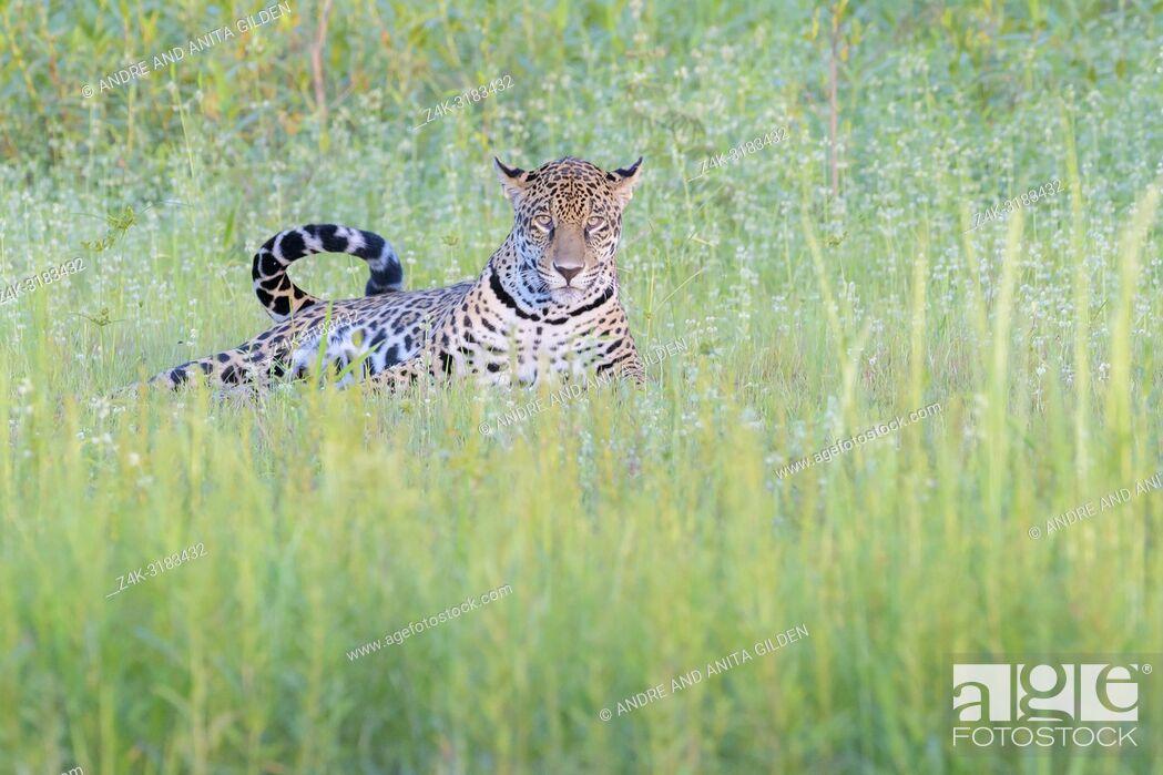 Imagen: Jaguar (Panthera onca) lying down in wetland, looking at camera, Pantanal, Mato Grosso, Brazil.