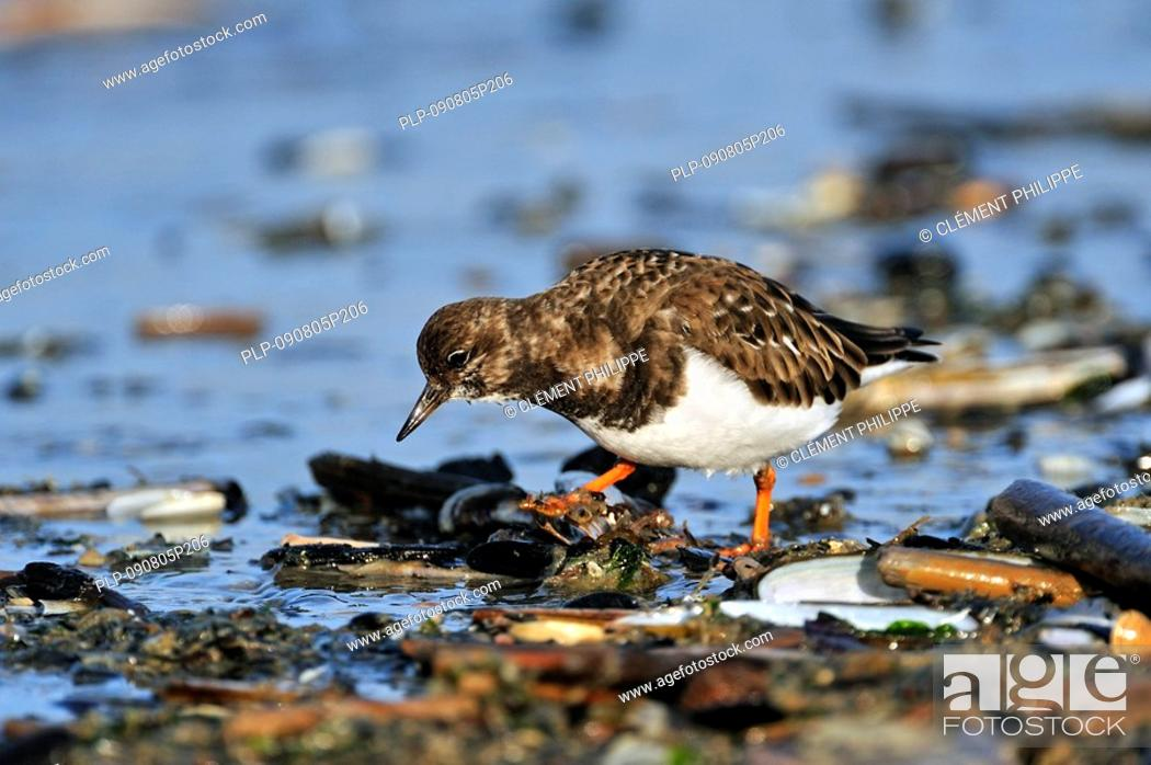 Stock Photo: Turnstone Arenaria interpres in winter plumage foraging for Molluscson beach along landwash, Ostend, Belgium.
