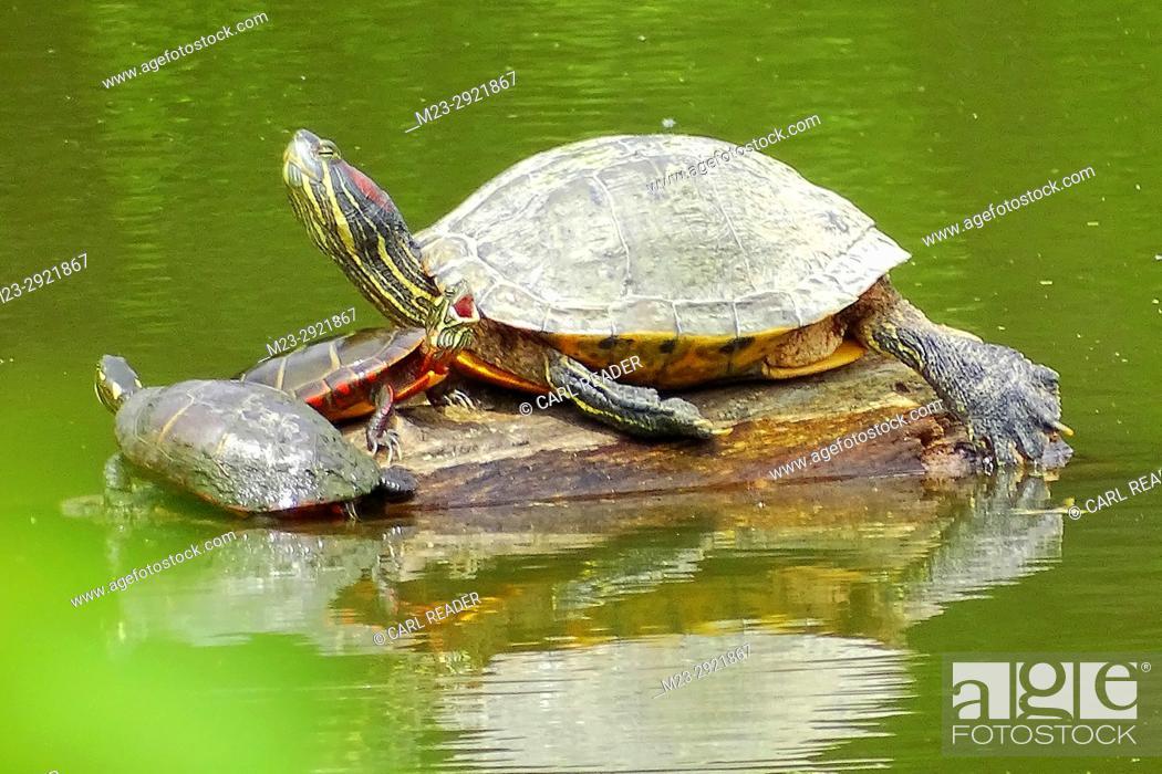 Imagen: A family of red-eared slider turtles, Trachemys scripta elegans, occupy a log, Pennsylvania, USA.