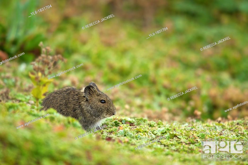 Stock Photo: Extremely abundant in the Ethiopian highlands the Blick's grass rat is another staple of the Ethiopian wolfs diet.