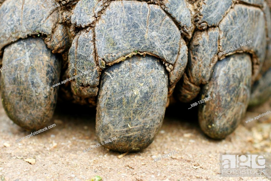 Stock Photo: Captive Galapagos giant tortoise Geochelone elephantopus claw detail at the Charles Darwin Research Station on Santa Cruz Island in the Galapagos Island Group.