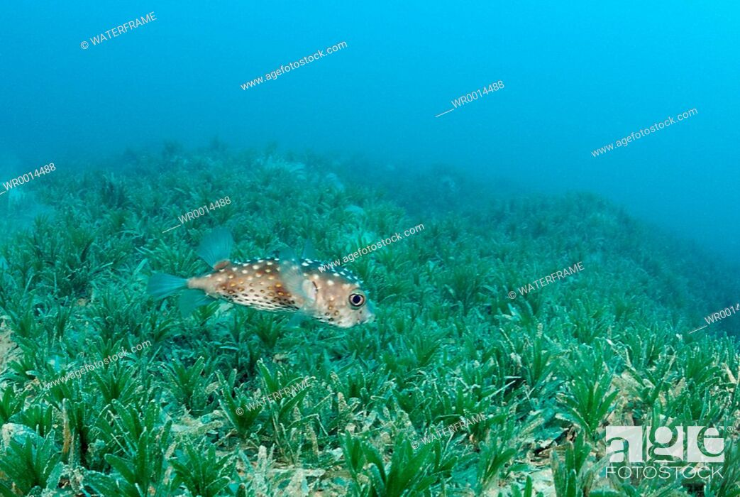Imagen: Porcupinefish over Seagras, Diodon hystrix, Marsa Alam, Red Sea, Egypt.