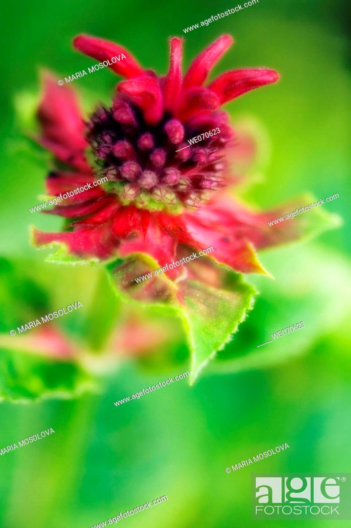 Stock Photo: Monarda Flower. Monarda didyma. July 2006, Maryland, USA.