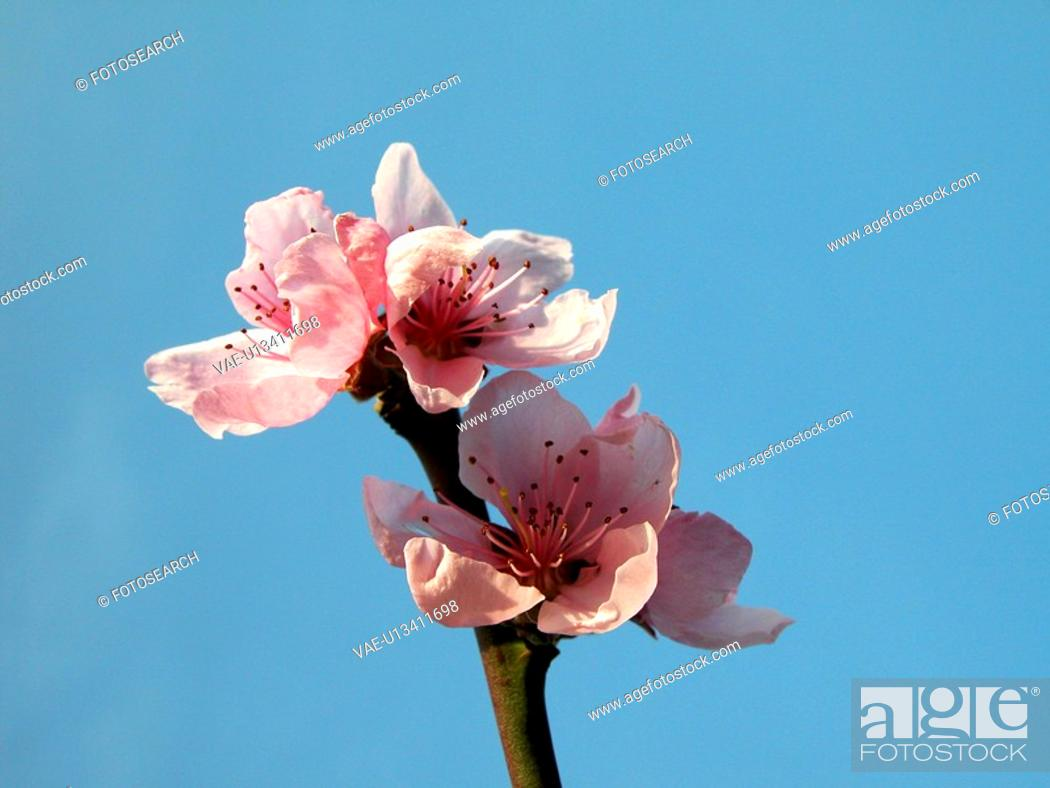 Stock Photo: blue, alfred, blossom, bloom, Austria, abloom.