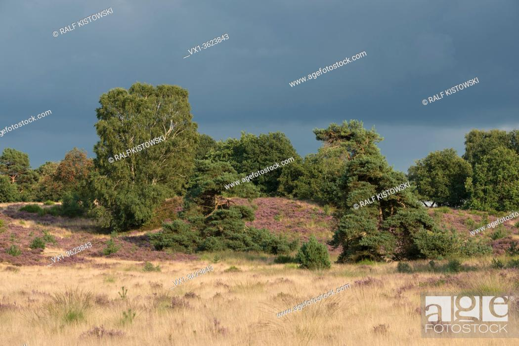Stock Photo: Summertime in National Park Veluwe, purple blossoming heather and solitary green trees surrounded by golden shimmering grassland, Netherlands.