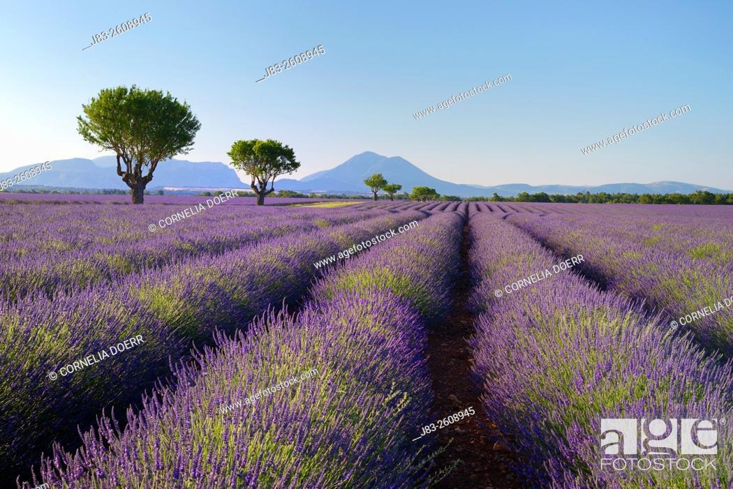 Stock Photo: Rows of Lavender field (Lavendula augustifolia) and trees in background, Valensole, Plateau de Valensole, Alpes-de-Haute-Provence, Provence-Alpes-Cote d'Azur.