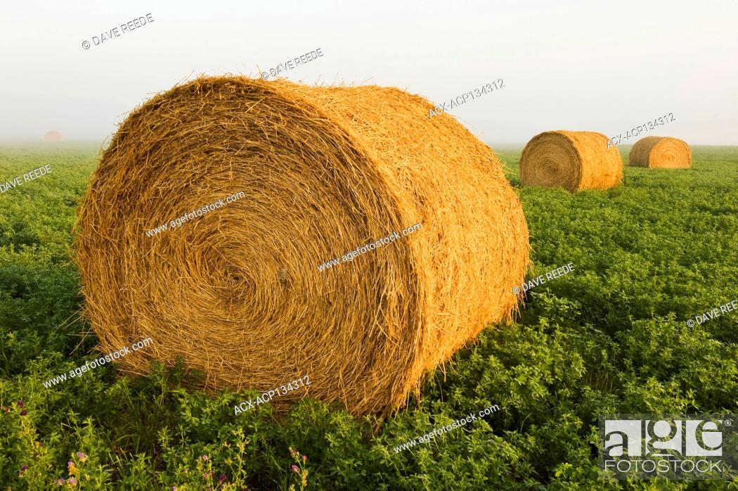 Stock Photo: round alfalfa bales near Dugald, Manitoba, Canada.