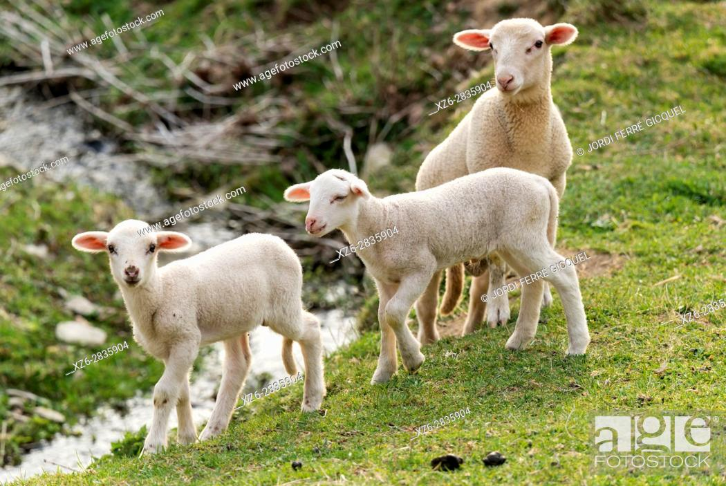 Stock Photo: Lambs in a green field, Sant Pau de Segúries, Ripollès, Catalonia, Spain, Europe.