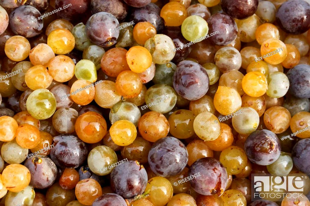 Stock Photo: Colorful mixed grapes before preparing juice and wort.