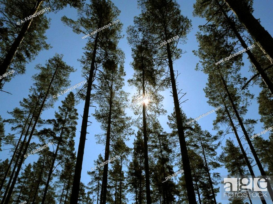 Stock Photo: Forest of fir trees, Medevi, Sweden.