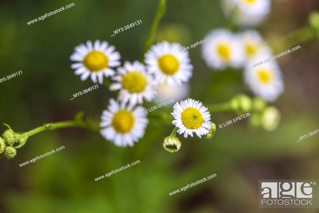 Imagen: A yellow aphid is camouflaged on the head of an eastern daisy fleabane flower.