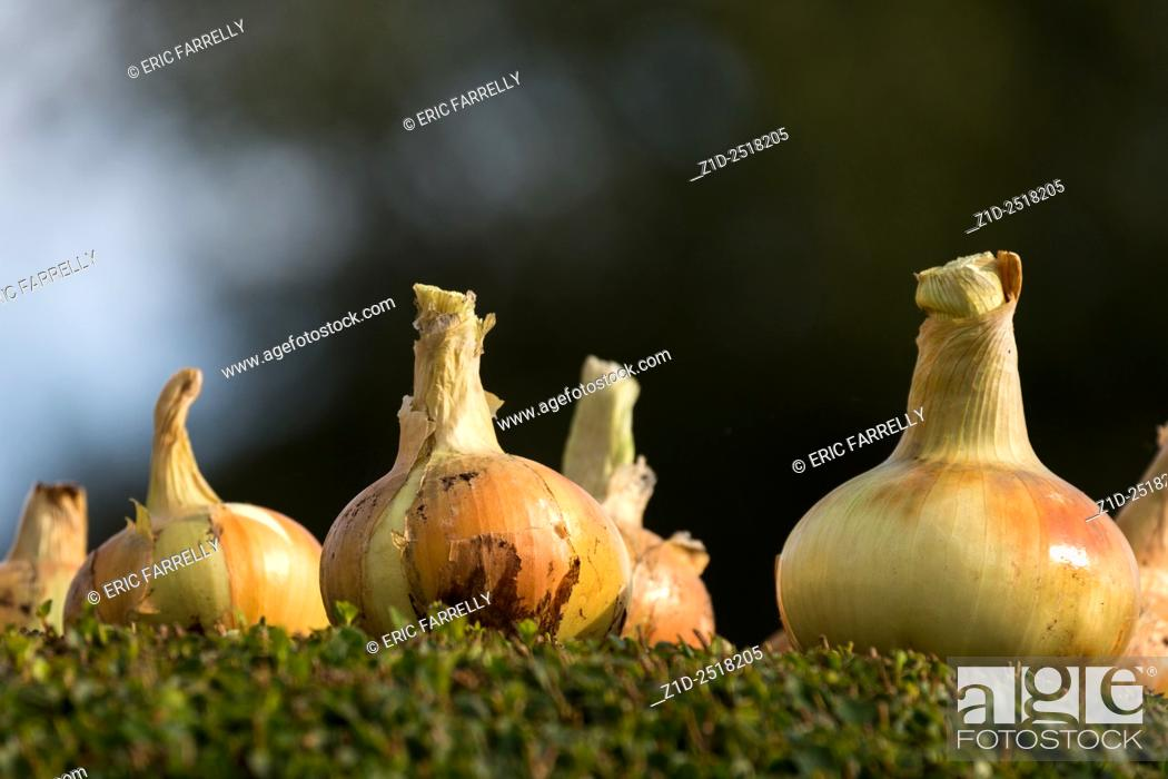 Imagen: Garden onions being dried in summer sunshine. England UK.
