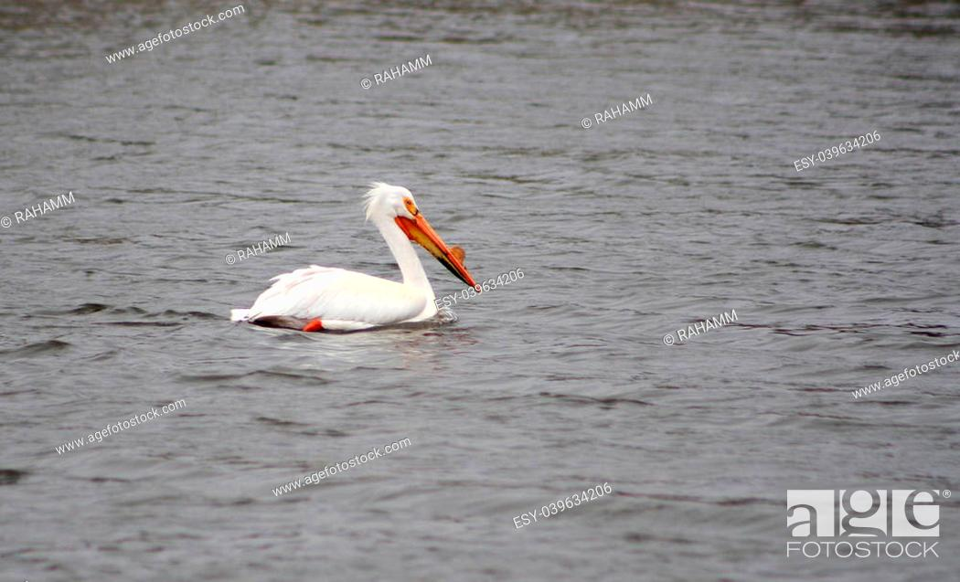 Stock Photo: An American White Pelican swimming in a lake in spring in Winnipeg, Manitoba, Canada.