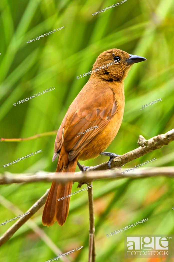 Imagen: White-lined tanager Tachyphonus rufus, female bird, Northern Venezuela.