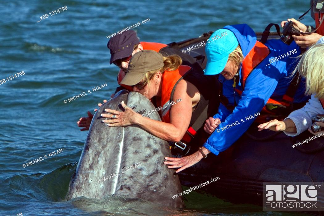 Stock Photo: California gray whale Eschrichtius robustus calf with excited whale watchers in San Ignacio Lagoon on the Pacific side of the Baja Peninsula.