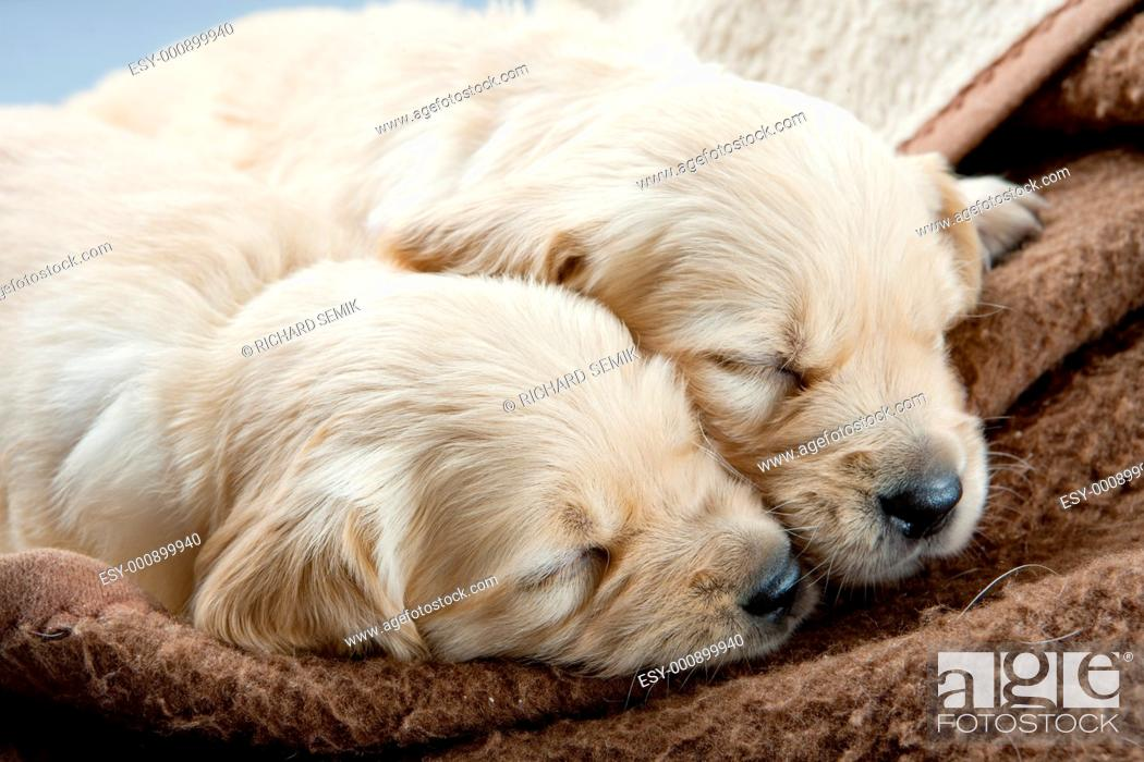 Stock Photo: sleeping puppies of golden retriever.