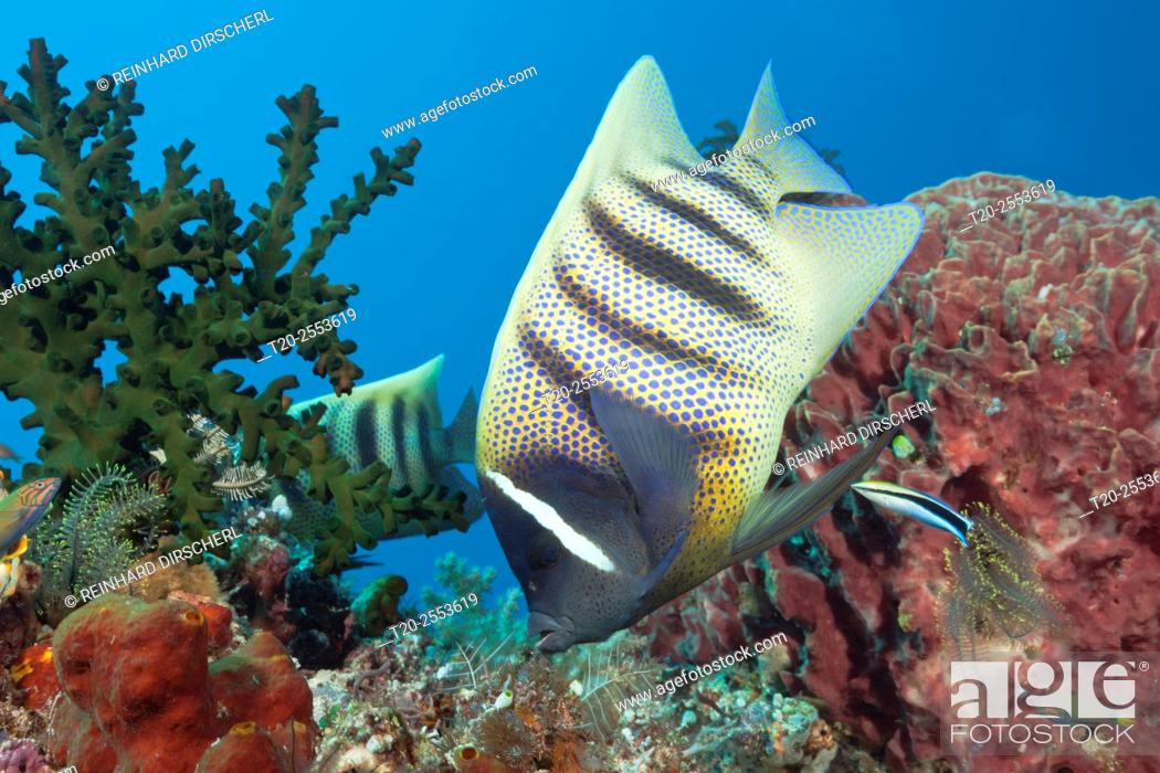 Stock Photo: Six-banded Angelfish cleaned by Cleaner Wrasse, Pomacanthus sexstriatus, Komodo National Park, Indonesia.