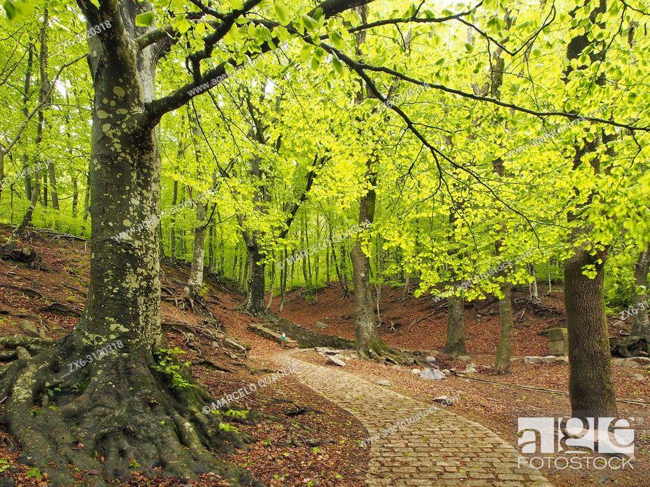 Stock Photo: Beech forest (Fagus sylvatica) at Font Bona Fountain site, Sant Marçal area. Springtime at Montseny Natural Park. Barcelona province, Catalonia, Spain.