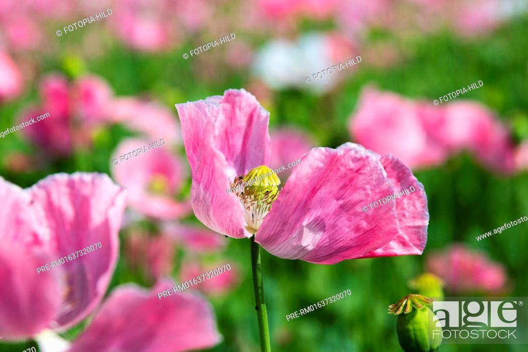 Imagen: Opium poppy field (Papaver somniferum) at Germerode, Werra-Meißner-Kreis, Hesse, Germany / Schlafmohnfeld (Papaver somniferum) bei Germerode.