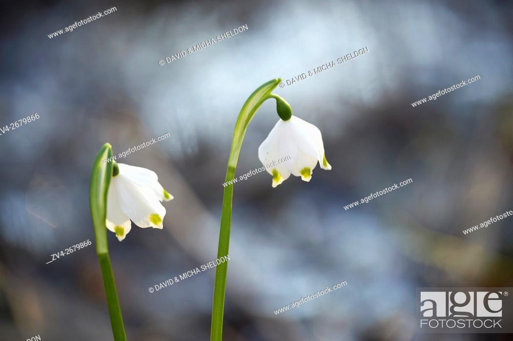 Stock Photo: Close-up of spring snowflake (Leucojum vernum) blooming in spring.