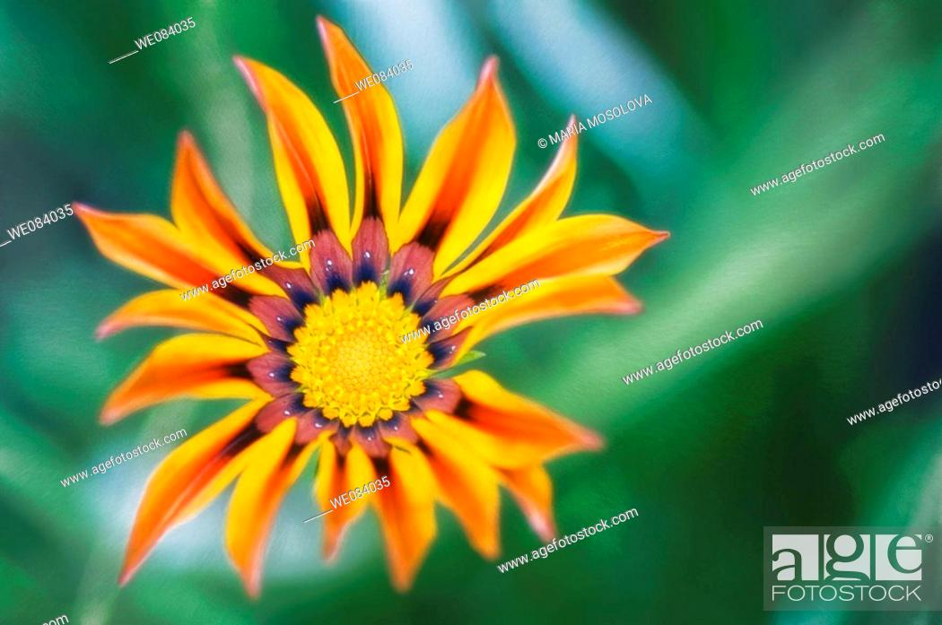 Stock Photo: Striped Gazania Burst. Gazania rigens.