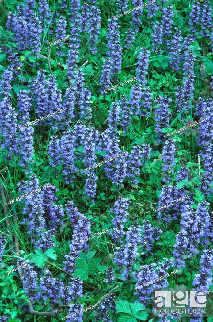 Stock Photo: A wide-angle view of a mass of bugle Ajuga reptans growing in a Norfolk wood This plant has many medicinal properties, including the treatment for delirious.