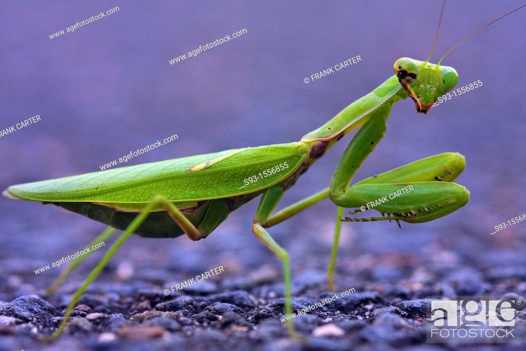 Stock Photo: A green praying mantis with some kind of disease.