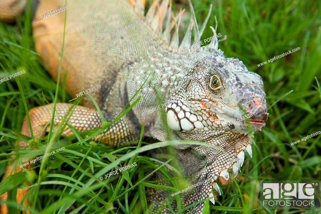 Imagen: Iguana iguana.