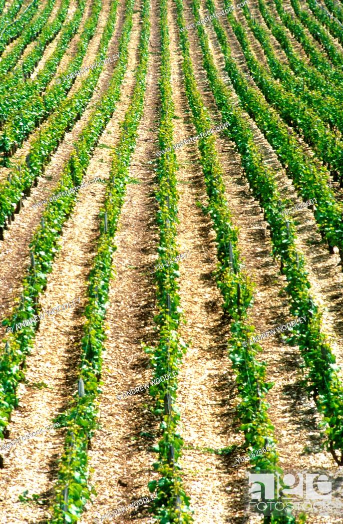 Stock Photo: Lines of vines growing in the Bourgogne region of France.