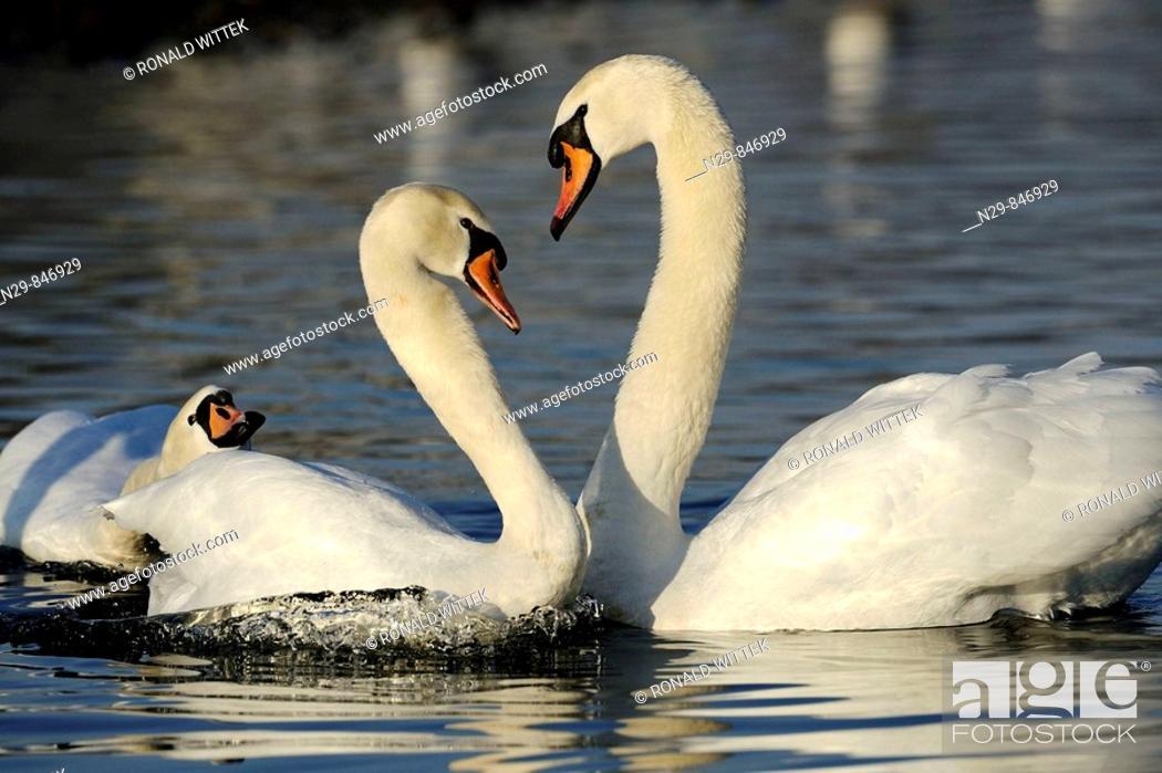Stock Photo: Mute Swan (Cygnus olor), Germany.