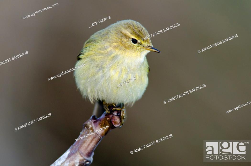 Imagen: Chiffchaff - Phylloscopus collybita, Greece.