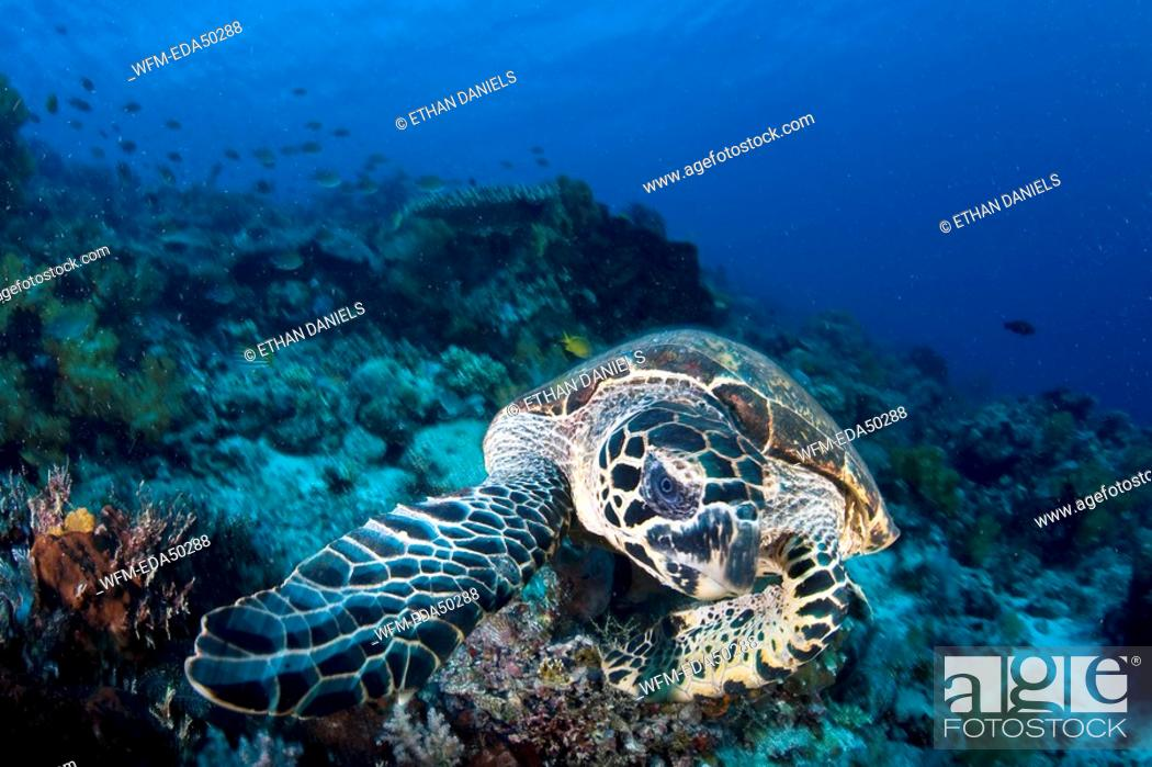Stock Photo: Hawksbill Turtle, Eretmochelys imbricata, Komodo, Indonesia.