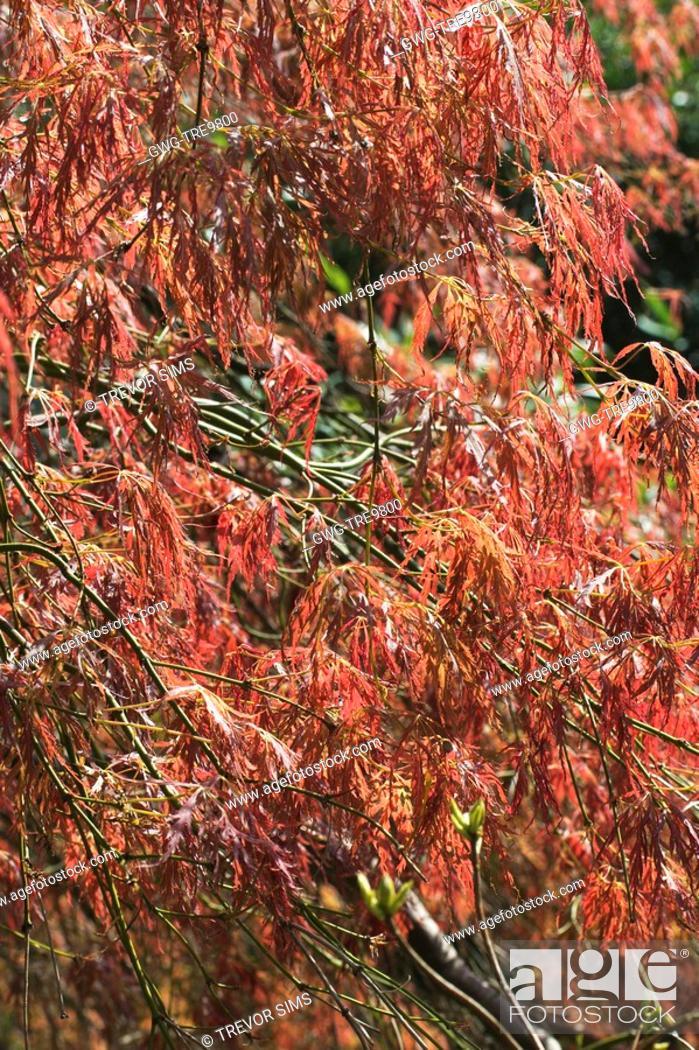 Acer Palmatum Dissectum Atropurpureum Stock Photo Picture And