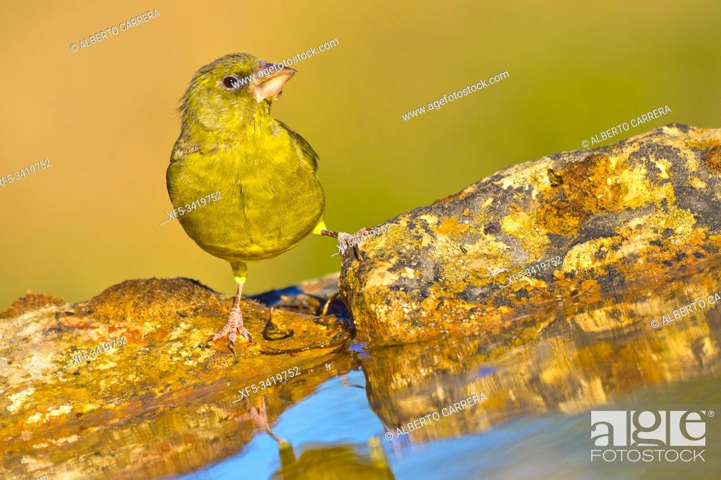 Stock Photo: Greenfinch, Carduelis chloris, Verderón Común, Forest Pond, Castilla y León, Spain, Europe.