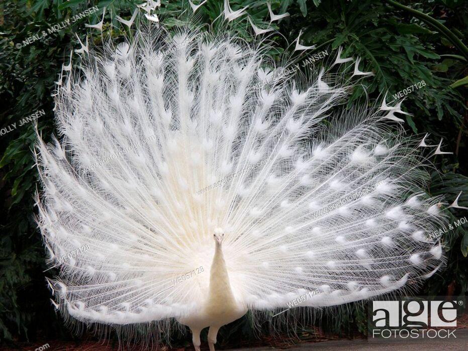 Stock Photo: White Peacock.