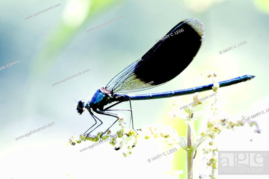 Stock Photo: Male Banded Demoiselle, Calopteryx splendens. Showy metallic blue damselfly that inhabits slow moving rivers, streams. Females are metallic green.